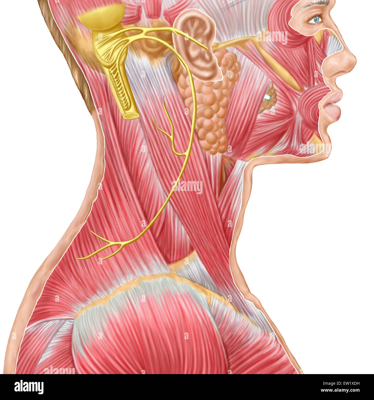 Masseter Muscle Stock Photos Masseter Muscle Stock Images Alamy