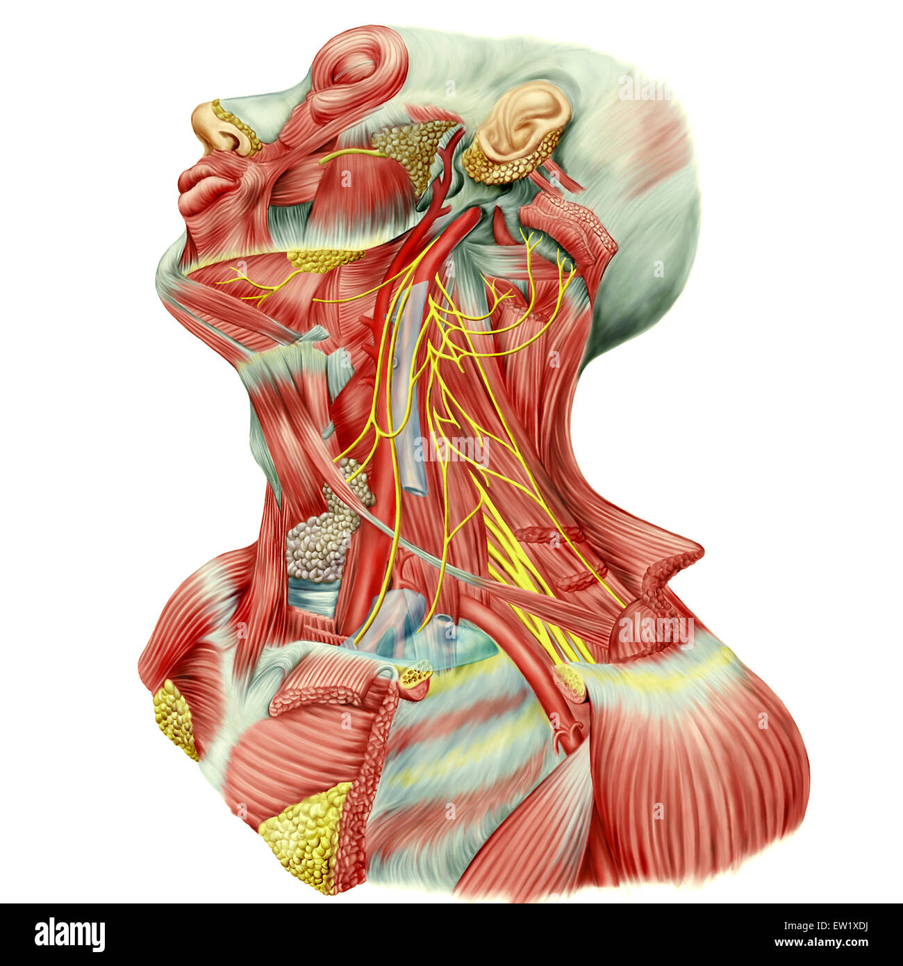 Detailed dissection view of human neck showing ansa cervicalis (Latin), superior root or descending hypoglossal, - Stock Image