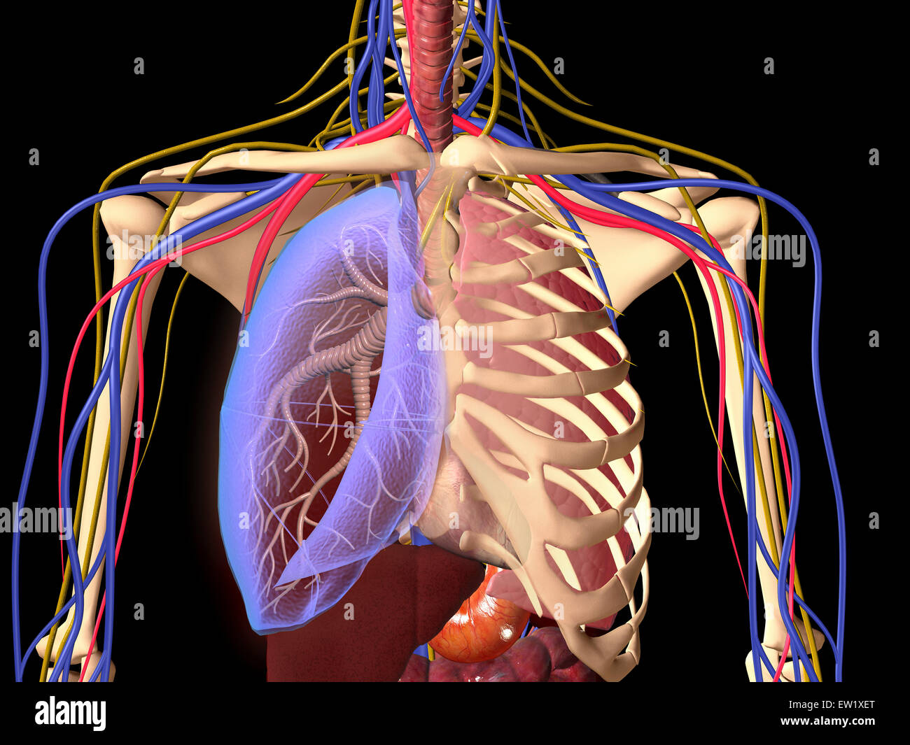 Human skeleton showing a transparent lung with surrounding rib cage and nervous system. - Stock Image