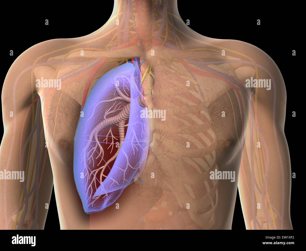Transparent view of human chest showing the lung. - Stock Image
