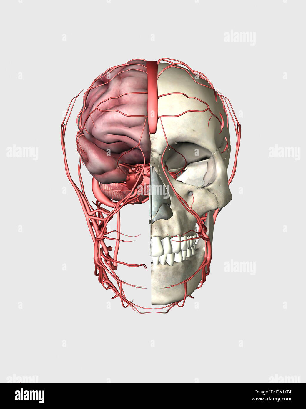 Transectional view of human skull showing half brain with veins. - Stock Image