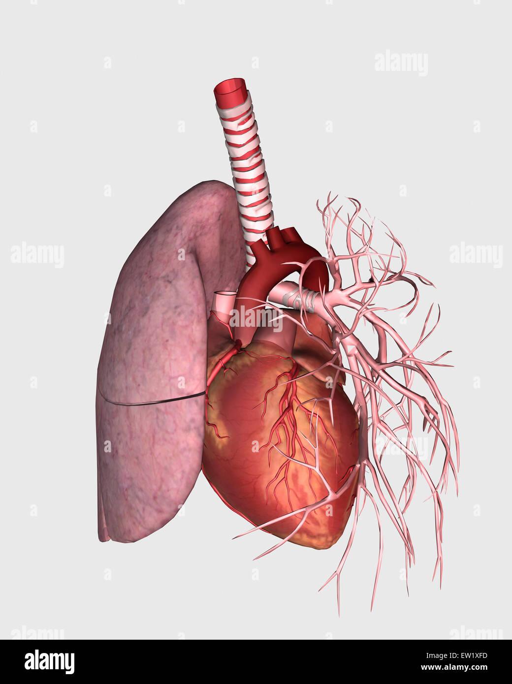 Pulmonary Circulation Of Human Heart And Lung Stock Photo 84250641