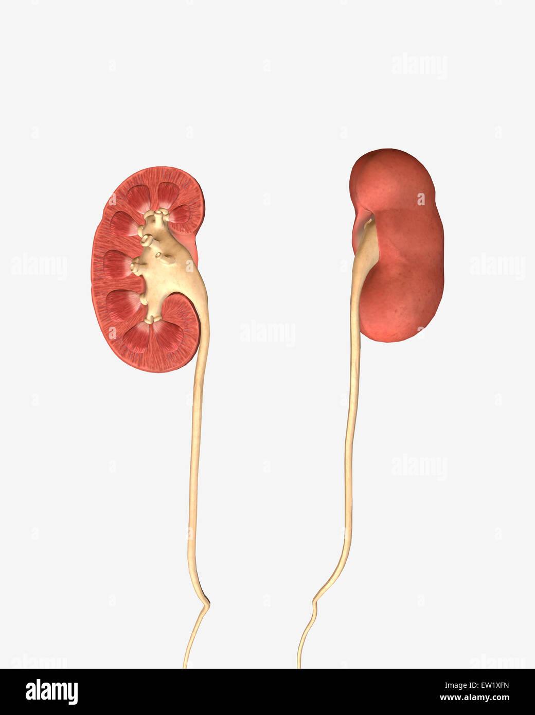Ureter Stock Photos Ureter Stock Images Alamy