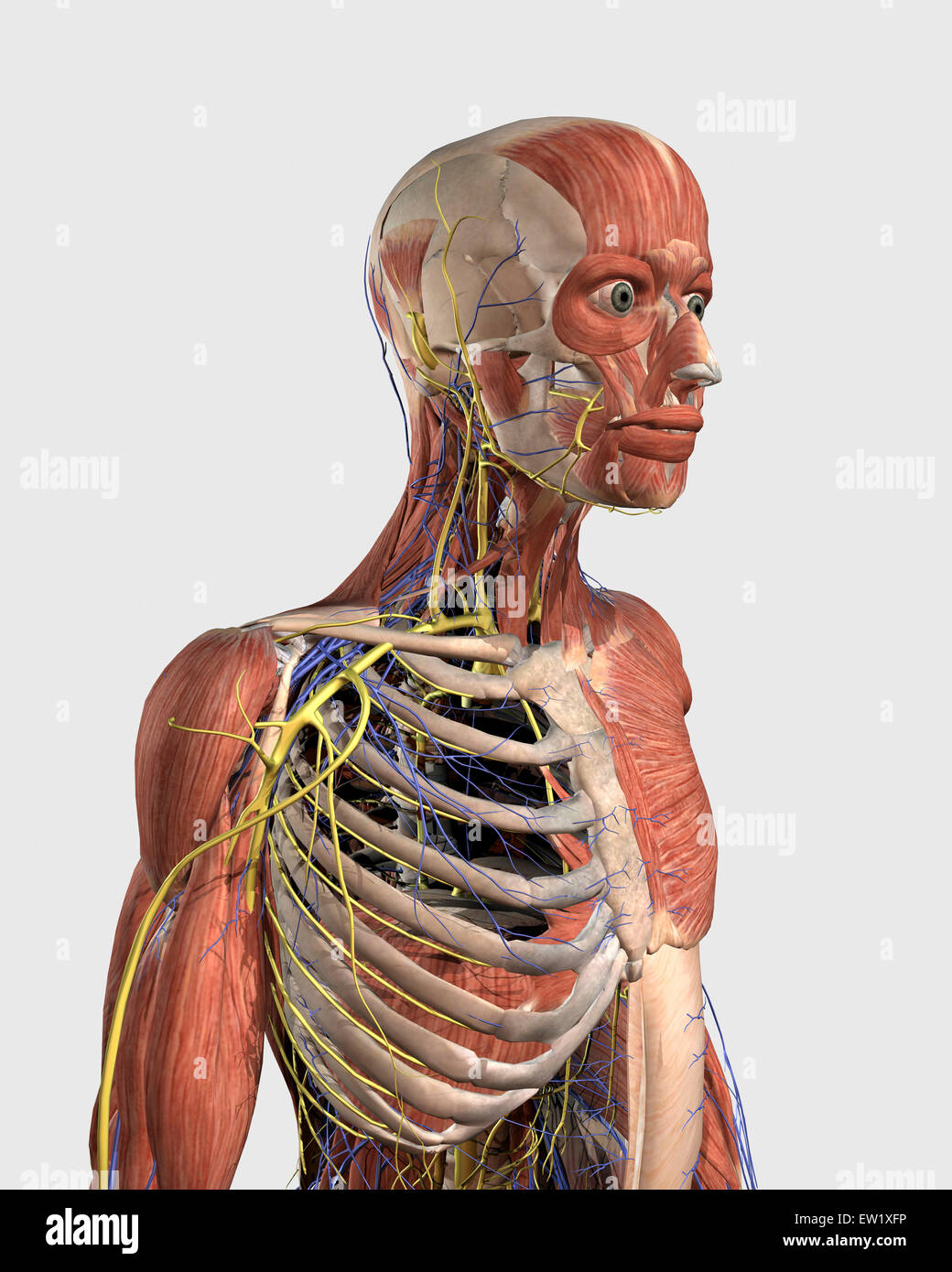 Human upper body showing muscle parts, axial skeleton, veins and ...