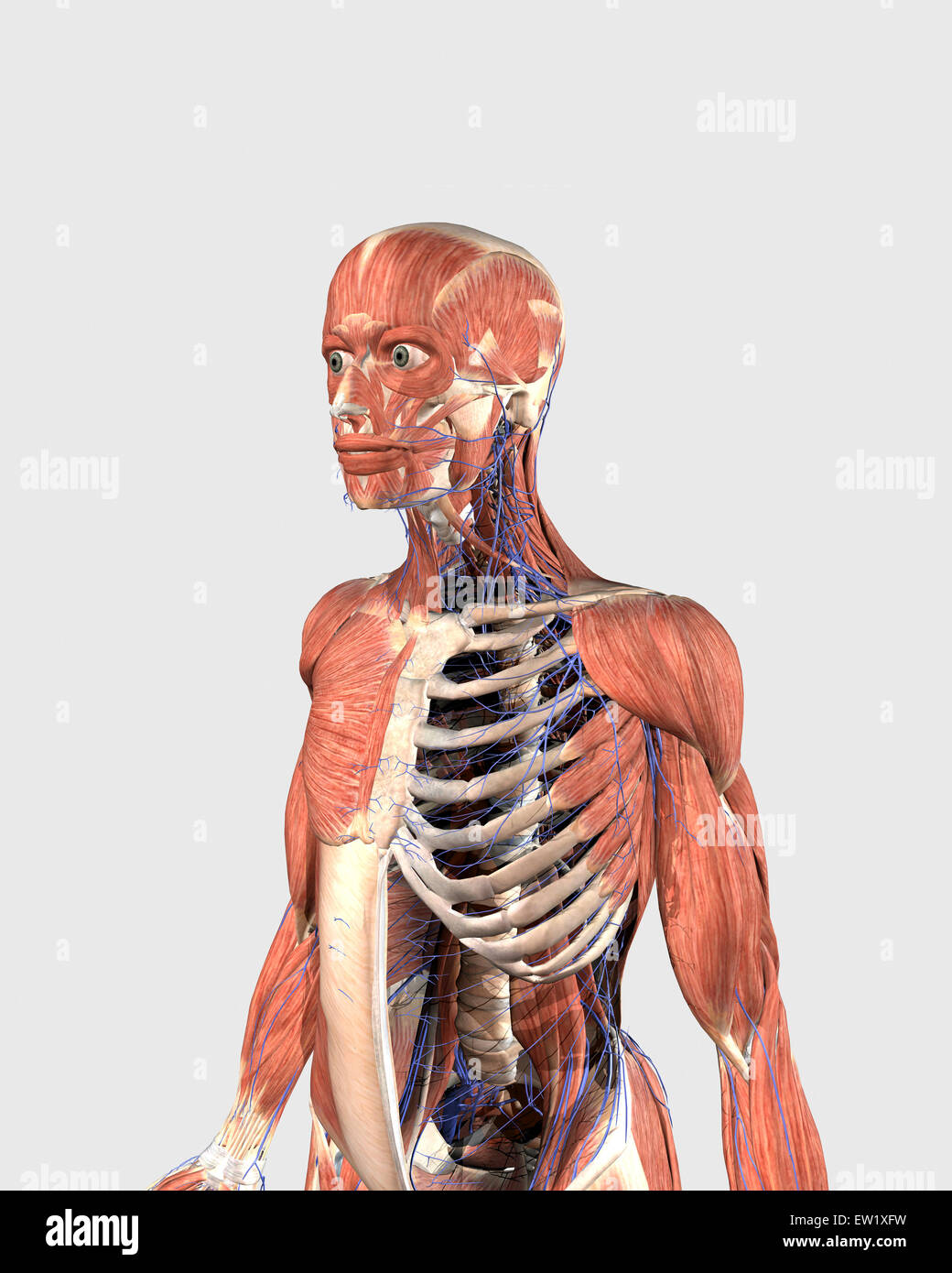 Human upper body showing muscle parts, axial skeleton and veins ...