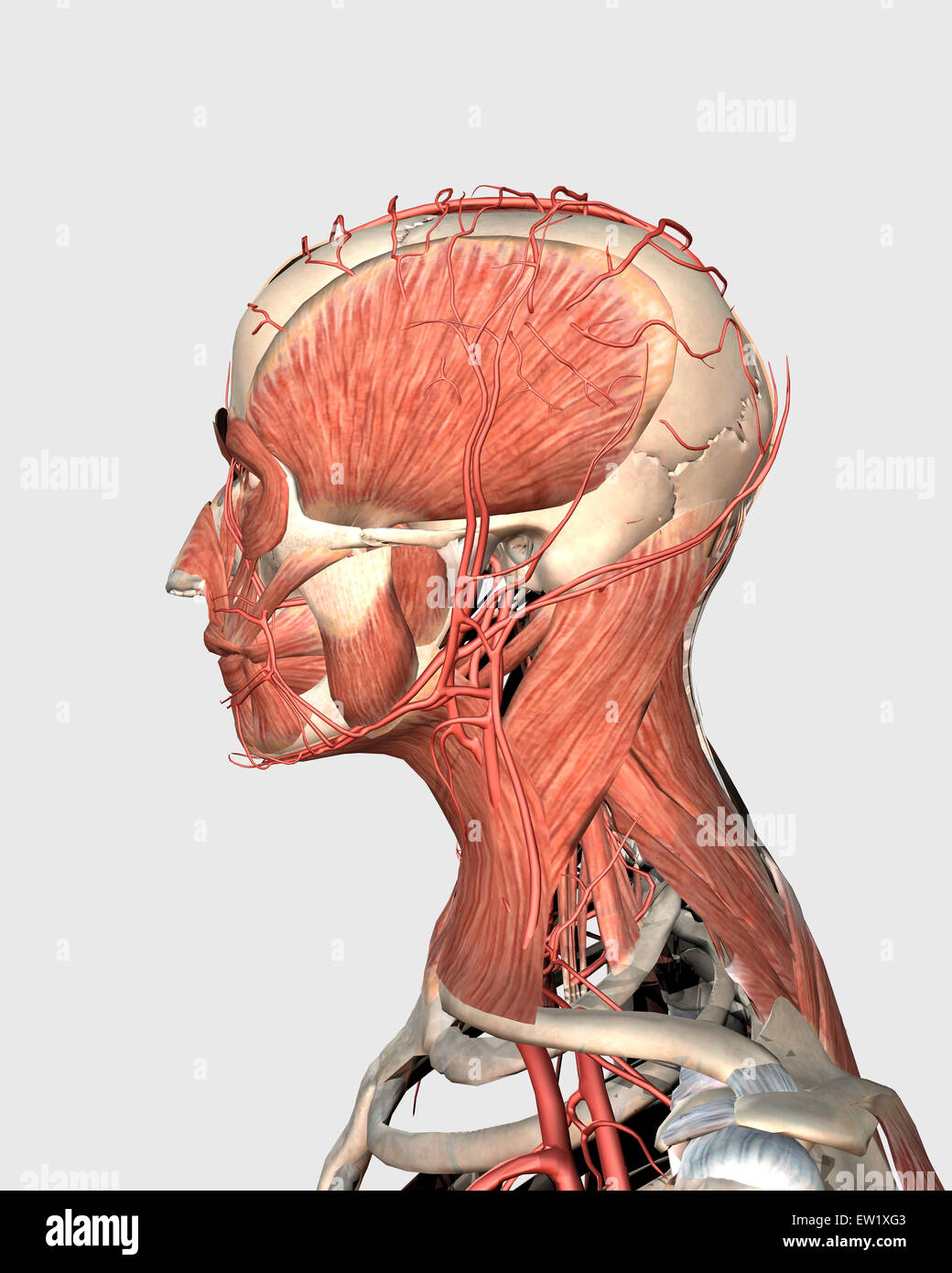 Medical Illustration Showing Human Head And Neck Muscles With Veins
