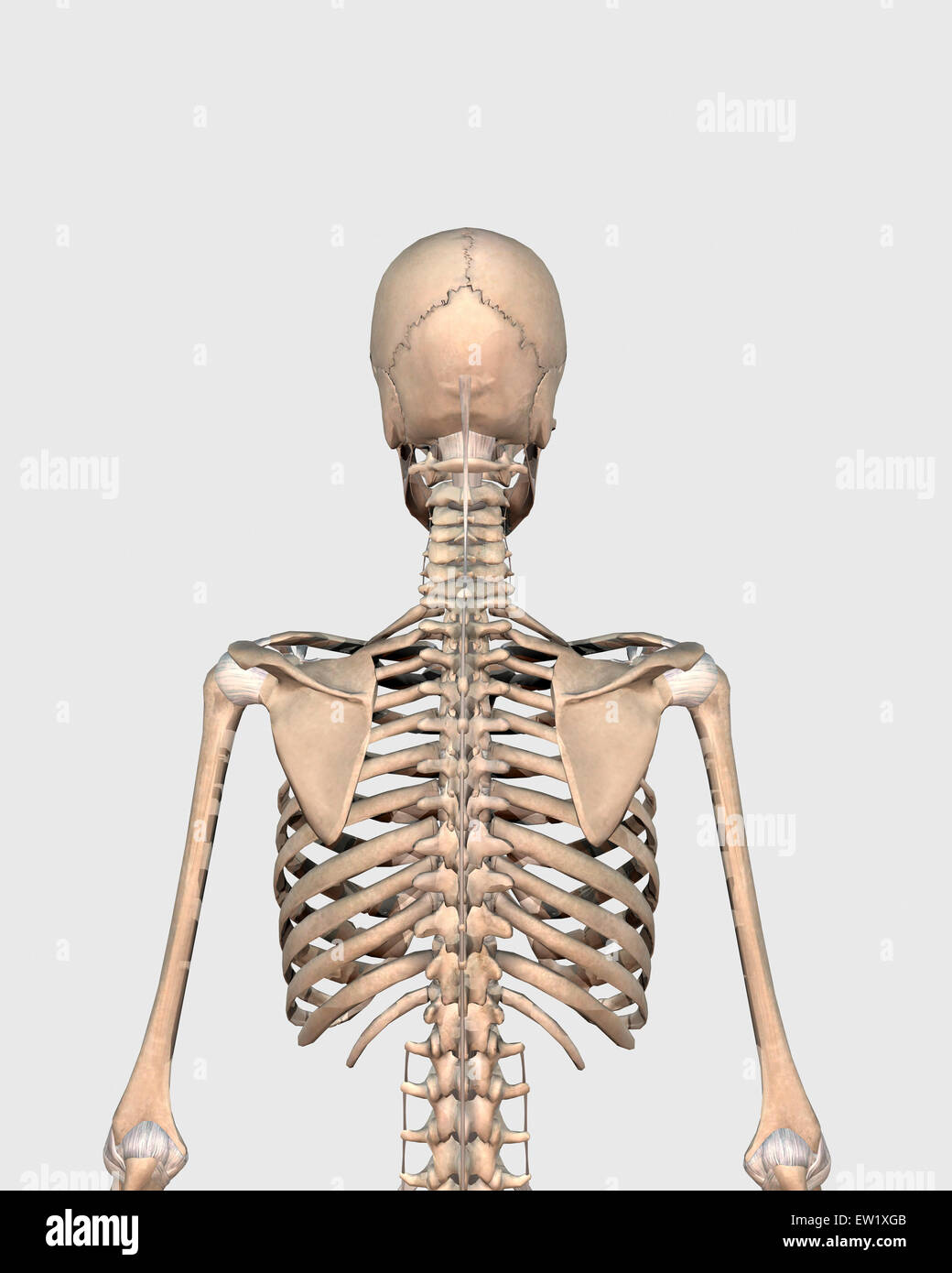 Rear View Of Human Skeletal System Showing Upper Back Stock Photo