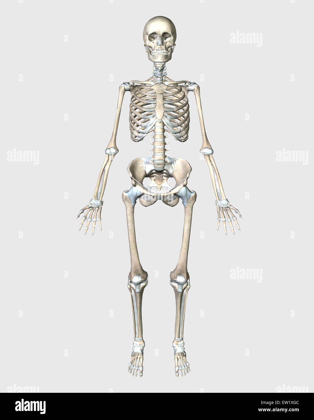 Anatomy Skeletal System Stock Photos Anatomy Skeletal System Stock