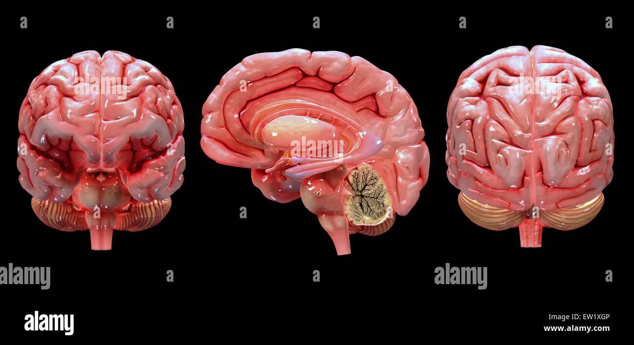 3D rendering of human brain. - Stock Image