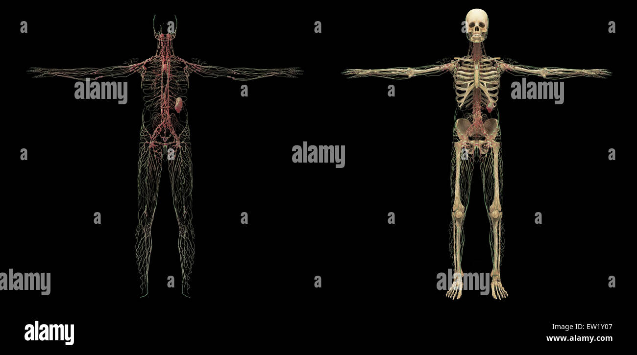 3D rendering of human lymphatic system. - Stock Image