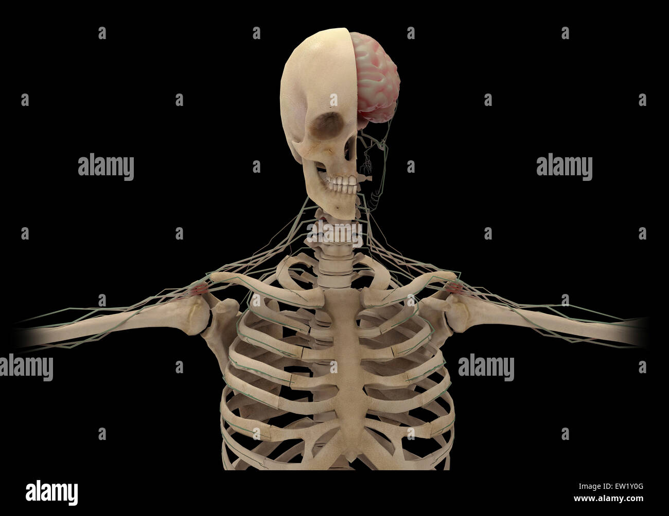Human skeleton with transectional view of skull exposing the brain. - Stock Image