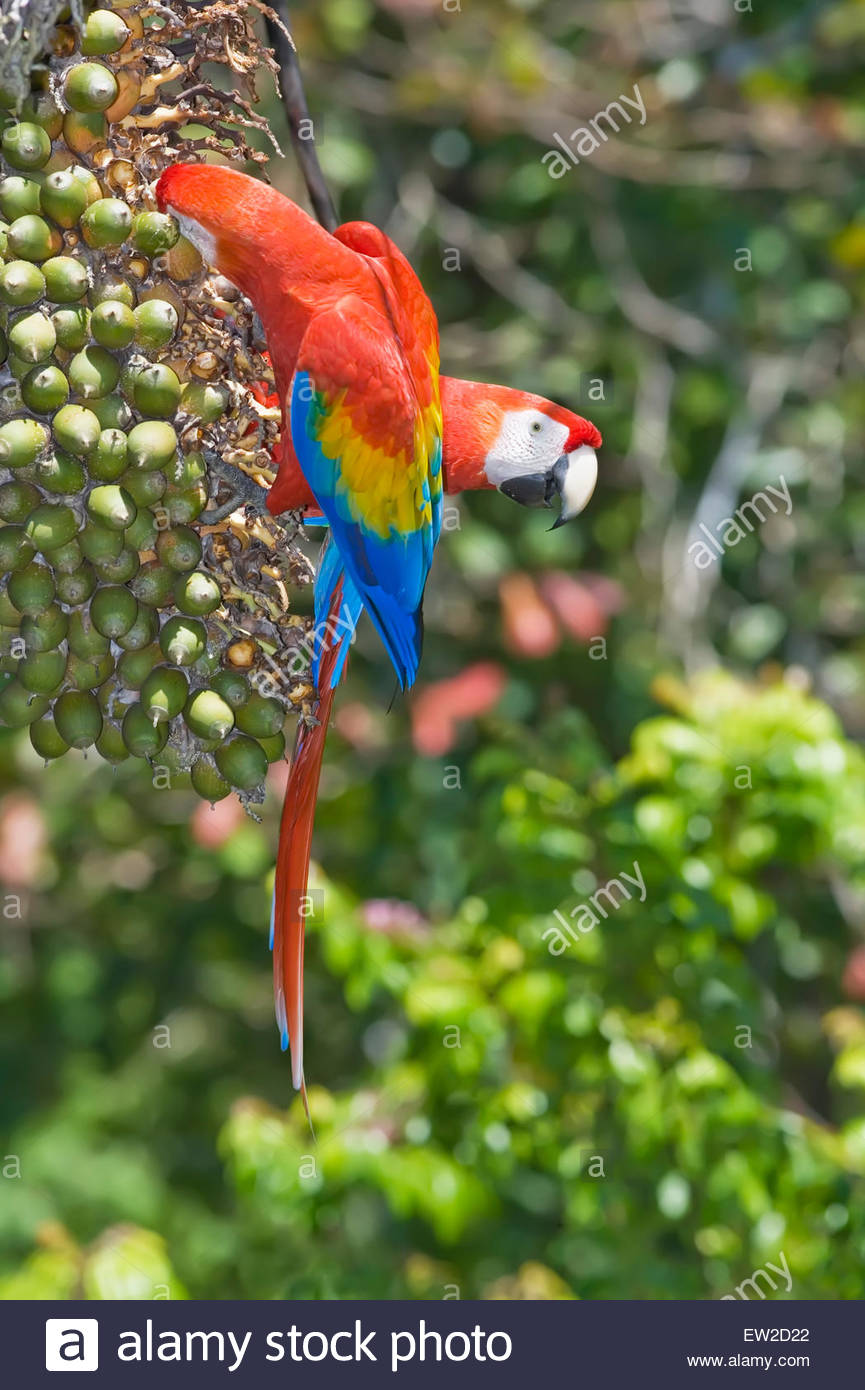Scarlet Macaw (Ara macao), Corcovado National.Park, Osa Peninsula, Costa Rica - Stock Image