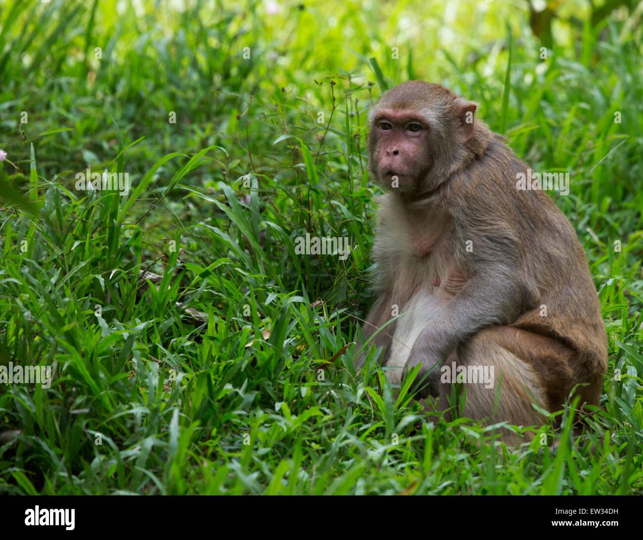 Rhesus Macaque (Macaca mulatta) - Stock Image