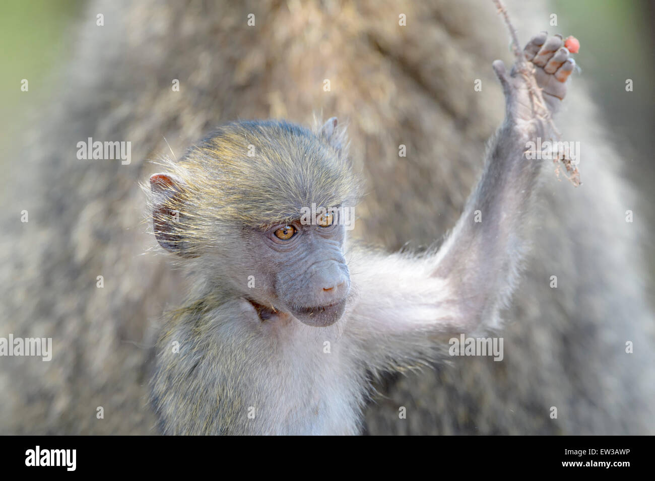 Olive Baboon (Papio anubis) juvenile portrait, playing with branch, Lake Manyara National Park, Tanzania - Stock Image
