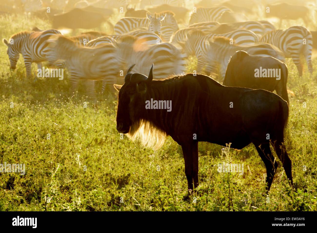 Wildebeests (Connochaetes taurinus) standing on savanna and plain zebra (Equus quagga) with motion blur, at sunrise, - Stock Image