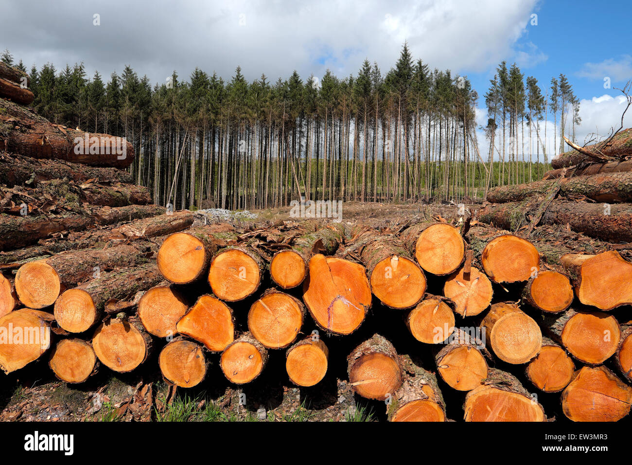 A stack of harvested logs with a line of forestry trees in the background in Brecon Beacons National Park Wales - Stock Image
