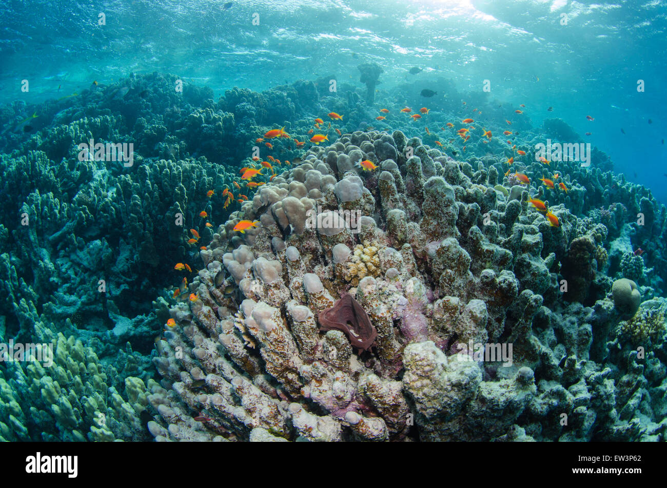 Sea Goldie's swimming over a reef in the Red Sea, Egypt. - Stock Image