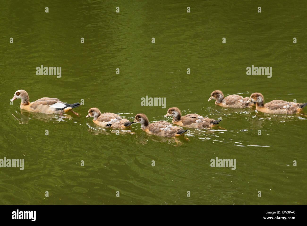 North West London Kenwood House Hampstead Heath wildlife nature park reserve woodland scene goose geese gosling - Stock Image