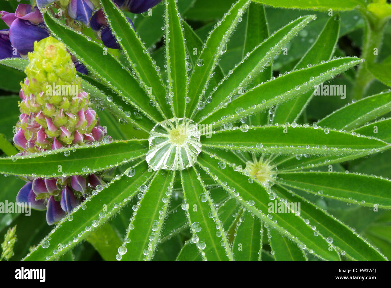 Dew drops on green leaves. Lupine flowers and leaves. Background. - Stock Image