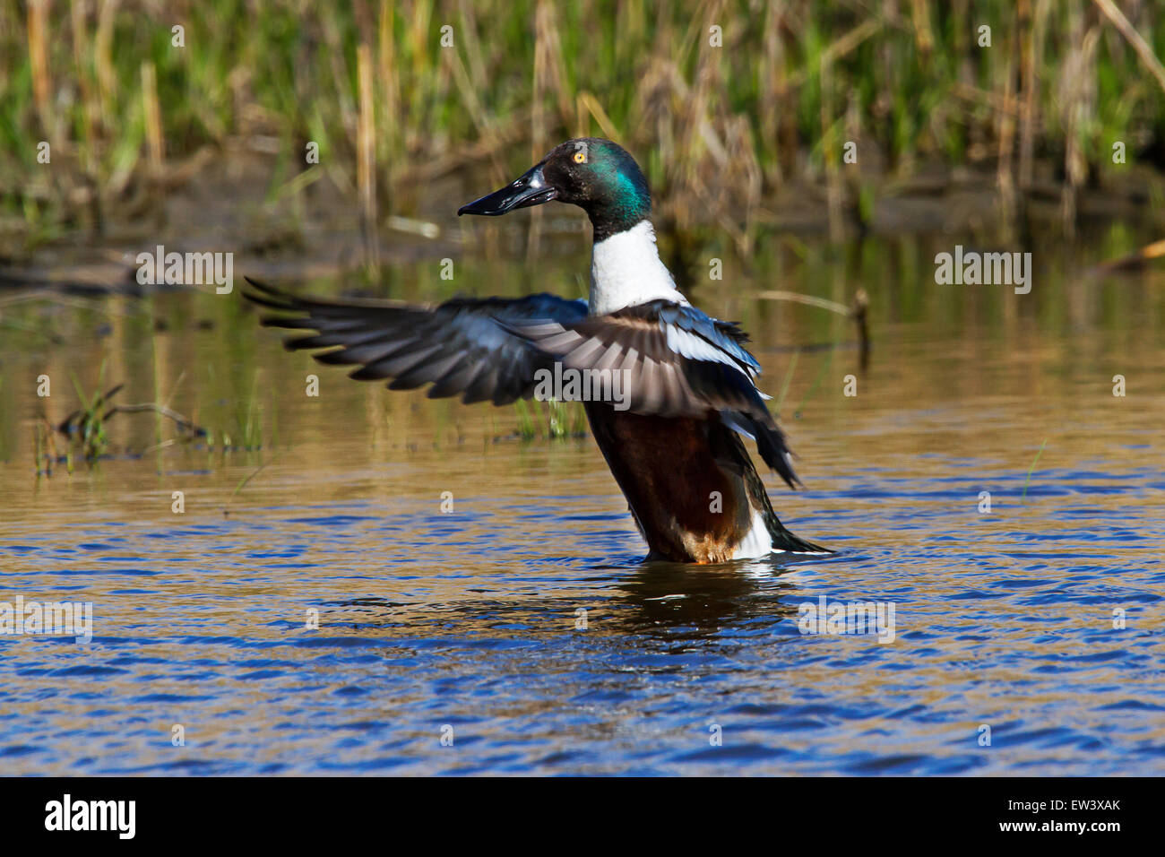 Northern shoveler / northern shoveller (Anas clypeata) male flapping wings in lake - Stock Image