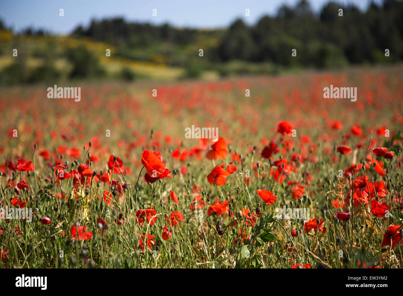 Poppy Flower Symbolism The Most Beautiful Flower 2018