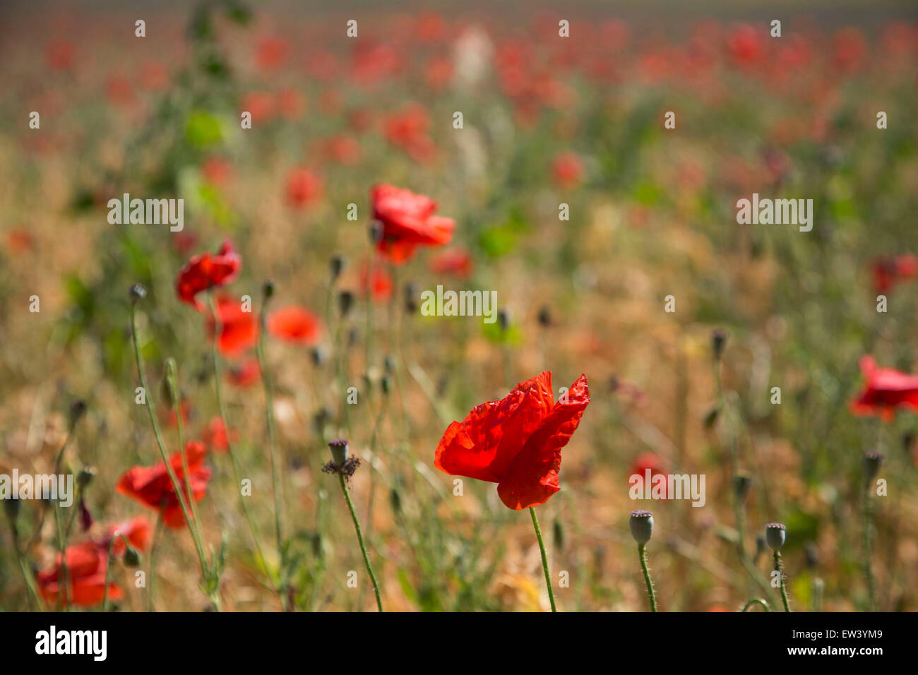 Field Of Wild Poppies In Tournissan Languedoc Roussillon France