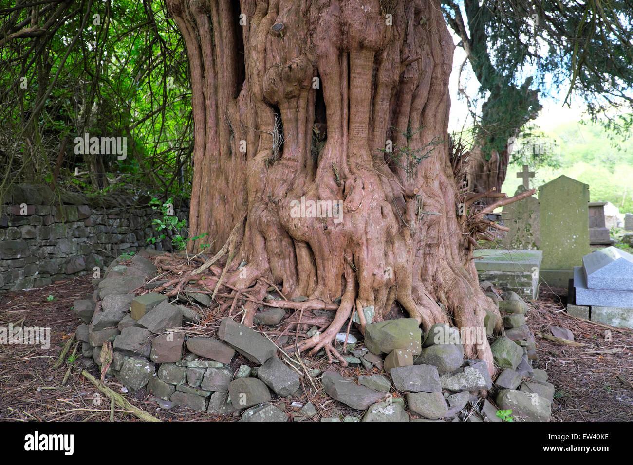 Ancient yew tree surrounded stones in St Marys churchyard Ystradfellte Powys Wales, UK  KATHY DEWITT - Stock Image