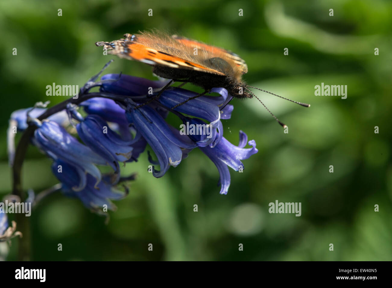 Nature; Tortoiseshell Butterfly feeding on Bluebells - Stock Image