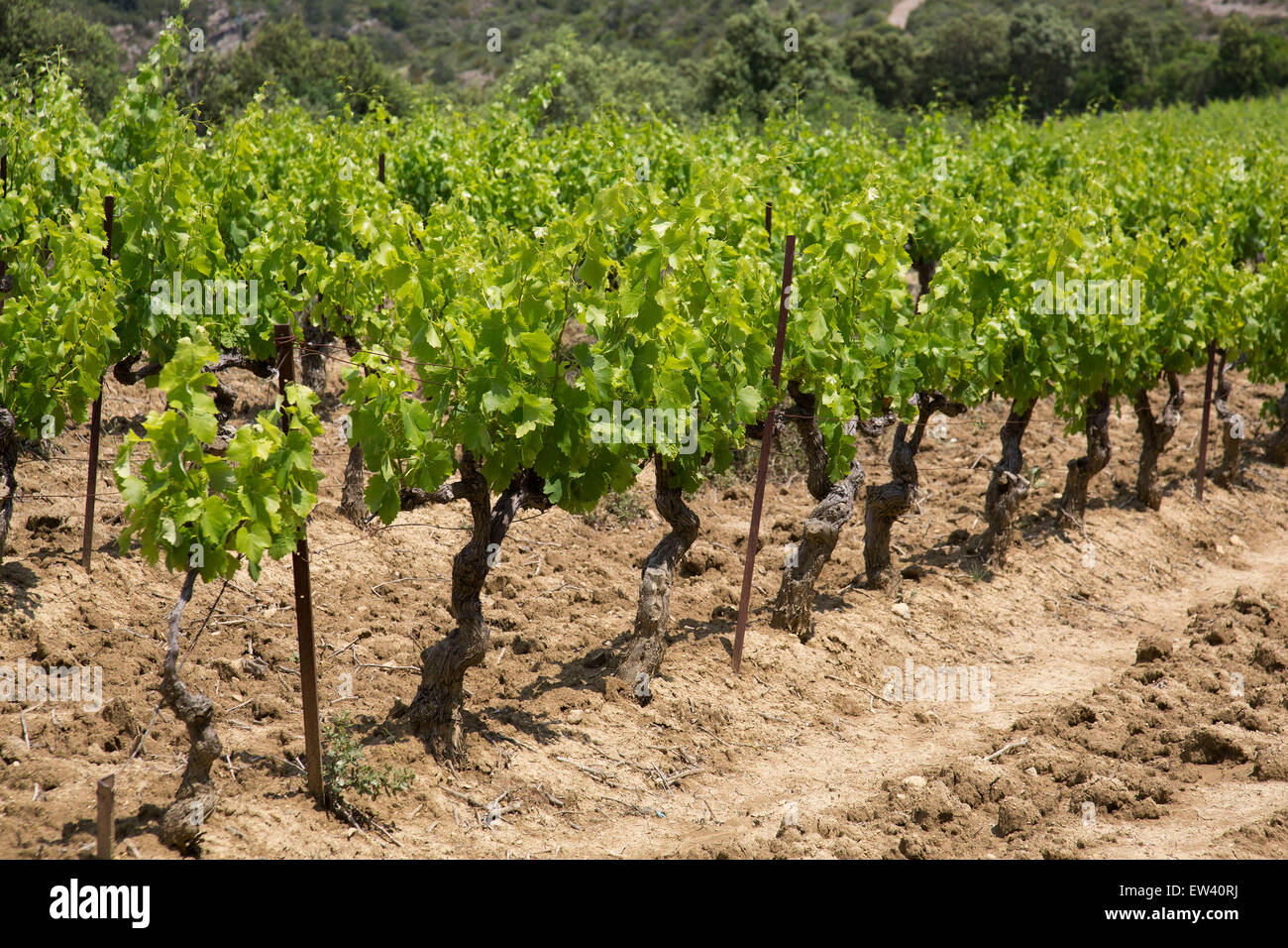 Vineyards in the South of France at Mayronnes, Languedoc-Roussillon, France. This is at the heart of wine production Stock Photo
