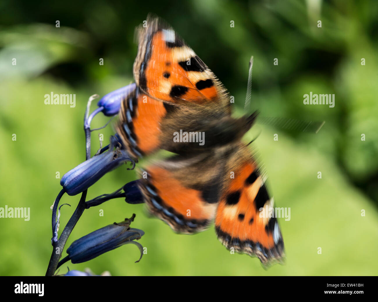 Nature; Tortoiseshell Butterfly in flight - Stock Image
