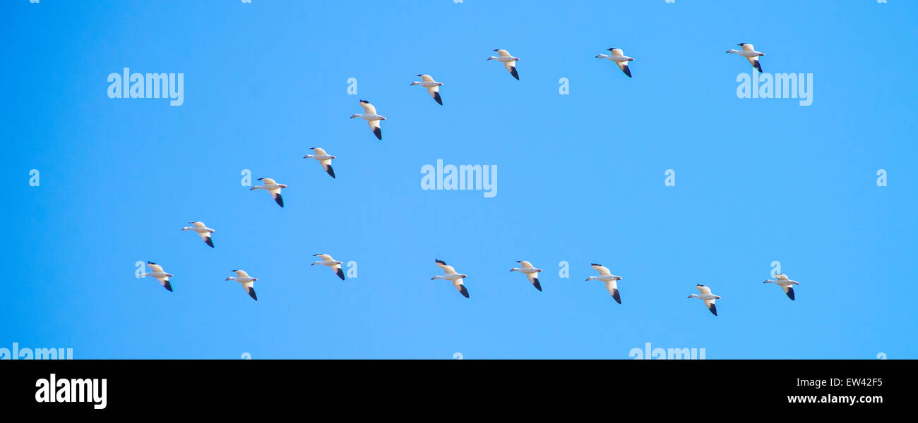 Snow Geese flying in a V-Formation, Ft. Boise Wildlife Mangement area, Parma, Idaho, USA - Stock Image
