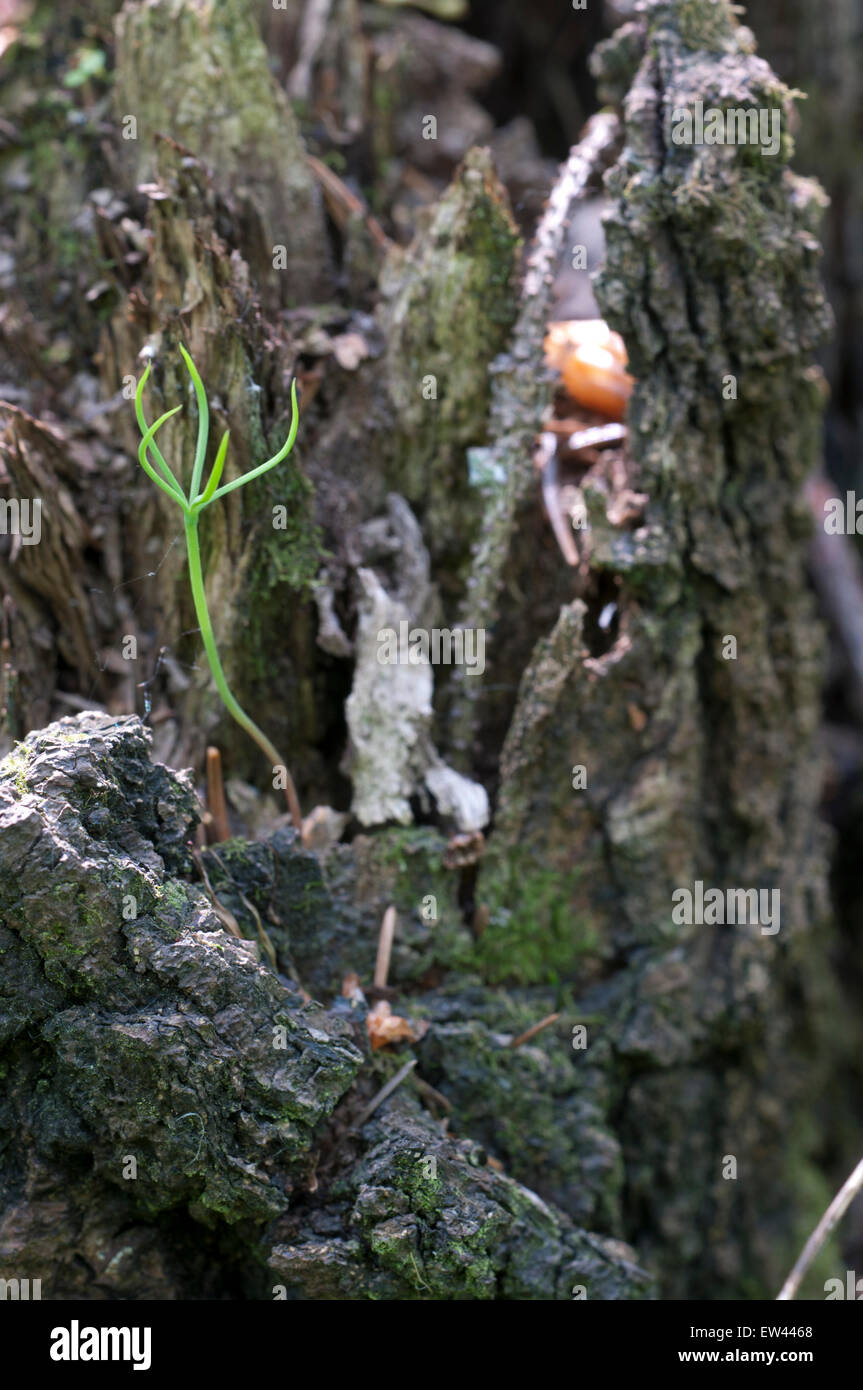 Fir seedling on a stump in a green mos - Stock Image
