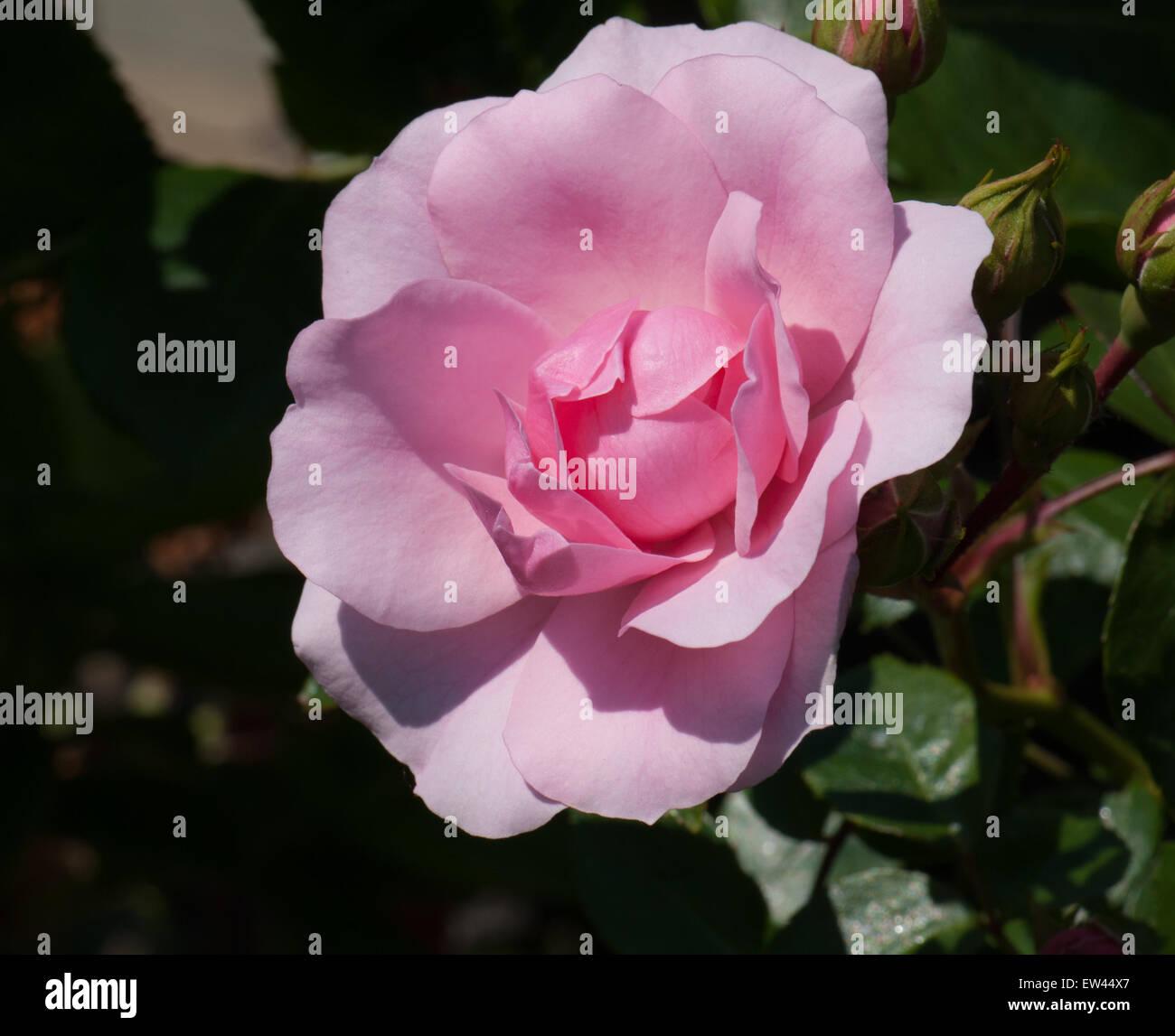 Standard rose flower carpet pink stock photo 84299551 alamy standard rose flower carpet pink mightylinksfo
