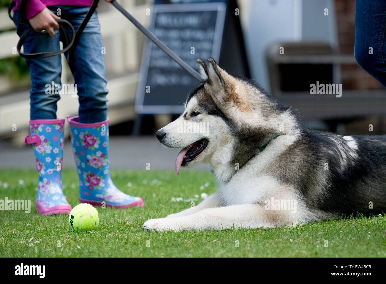 alaskan malamute dog and child in the park - Stock Image