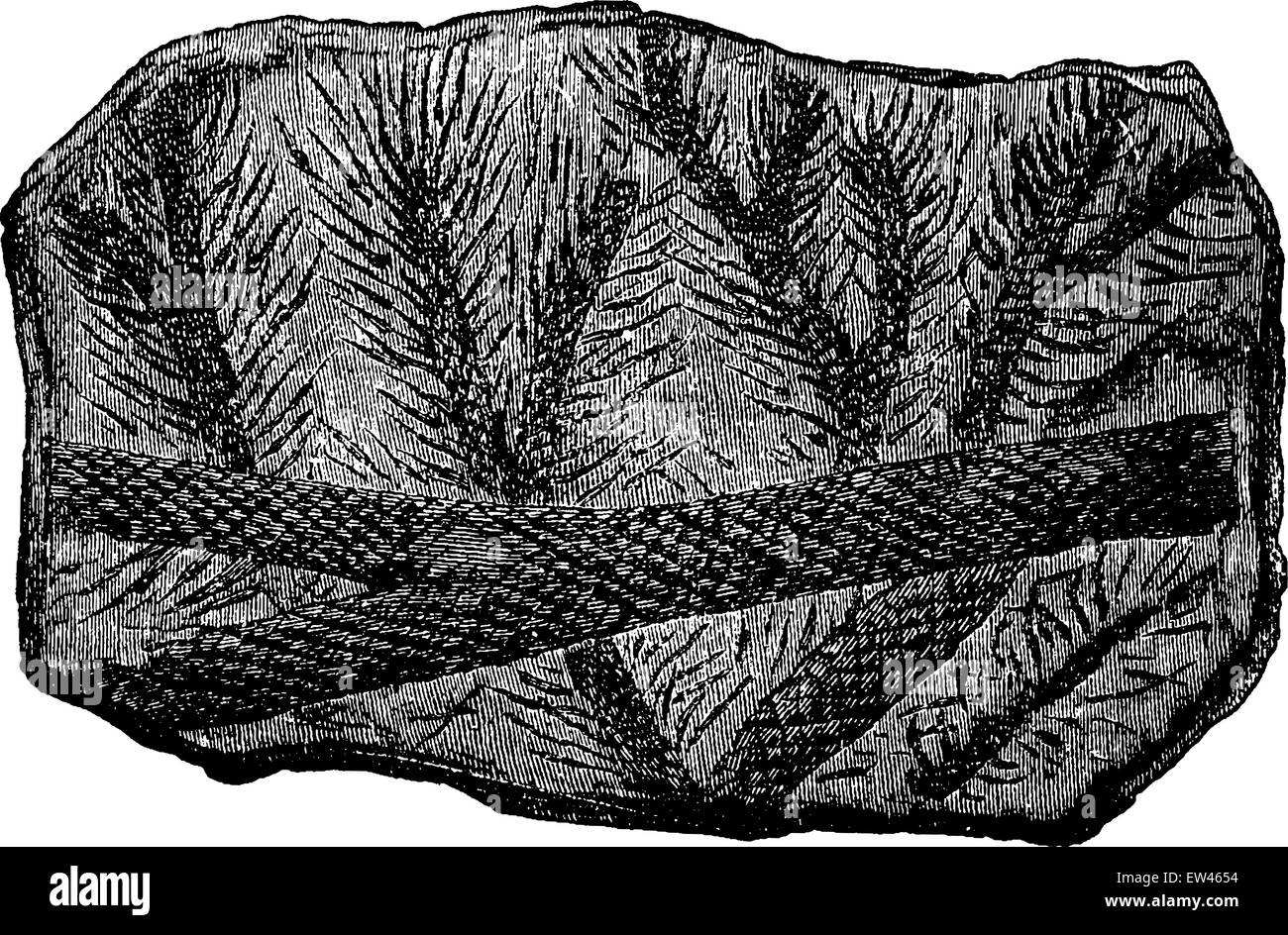 Fossil Lepidodendron branches, vintage engraved illustration. Earth before man – 1886. Stock Vector