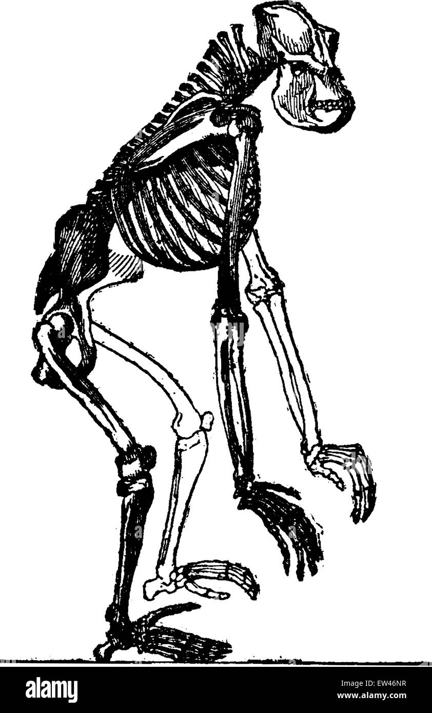 Gorilla Skeleton Stock Photos & Gorilla Skeleton Stock Images - Alamy