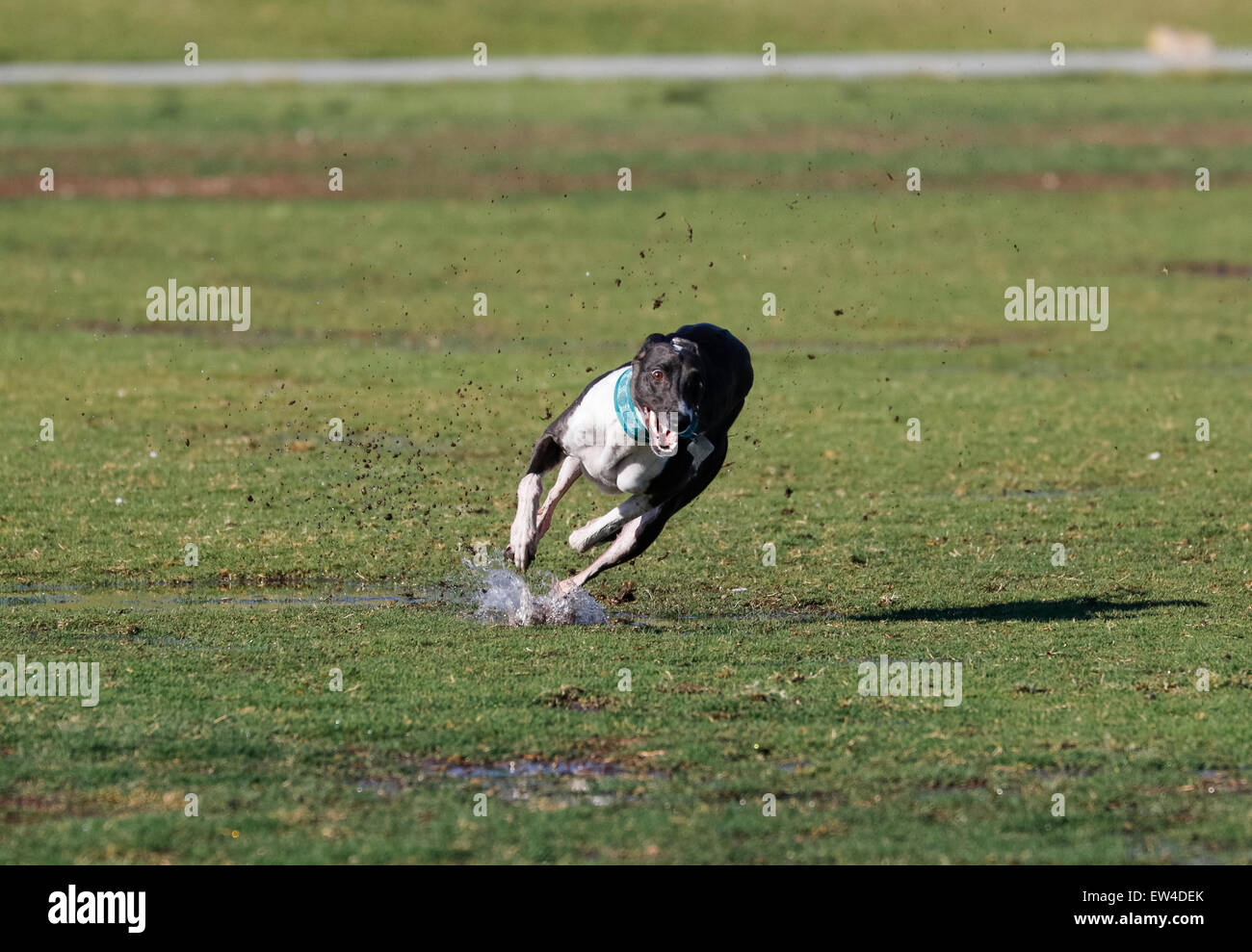 Whippet running in the wet grass and spraying mud - Stock Image