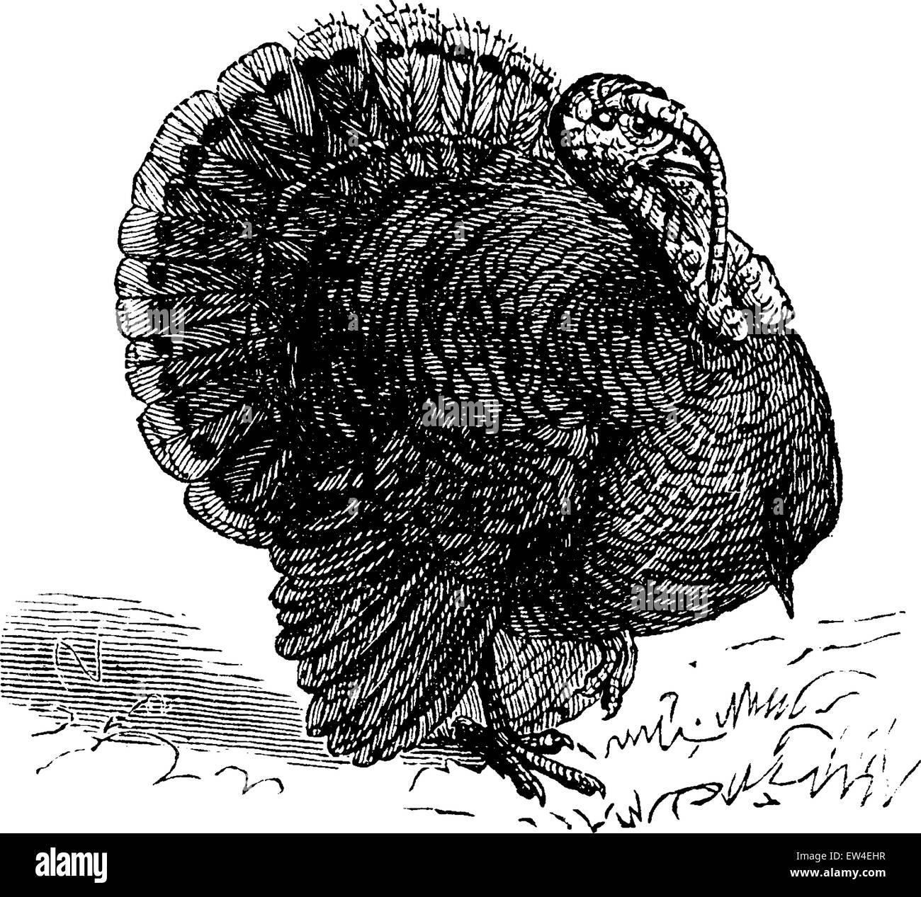 Turkey, vintage engraved illustration. La Vie dans la nature, 1890. Stock Vector
