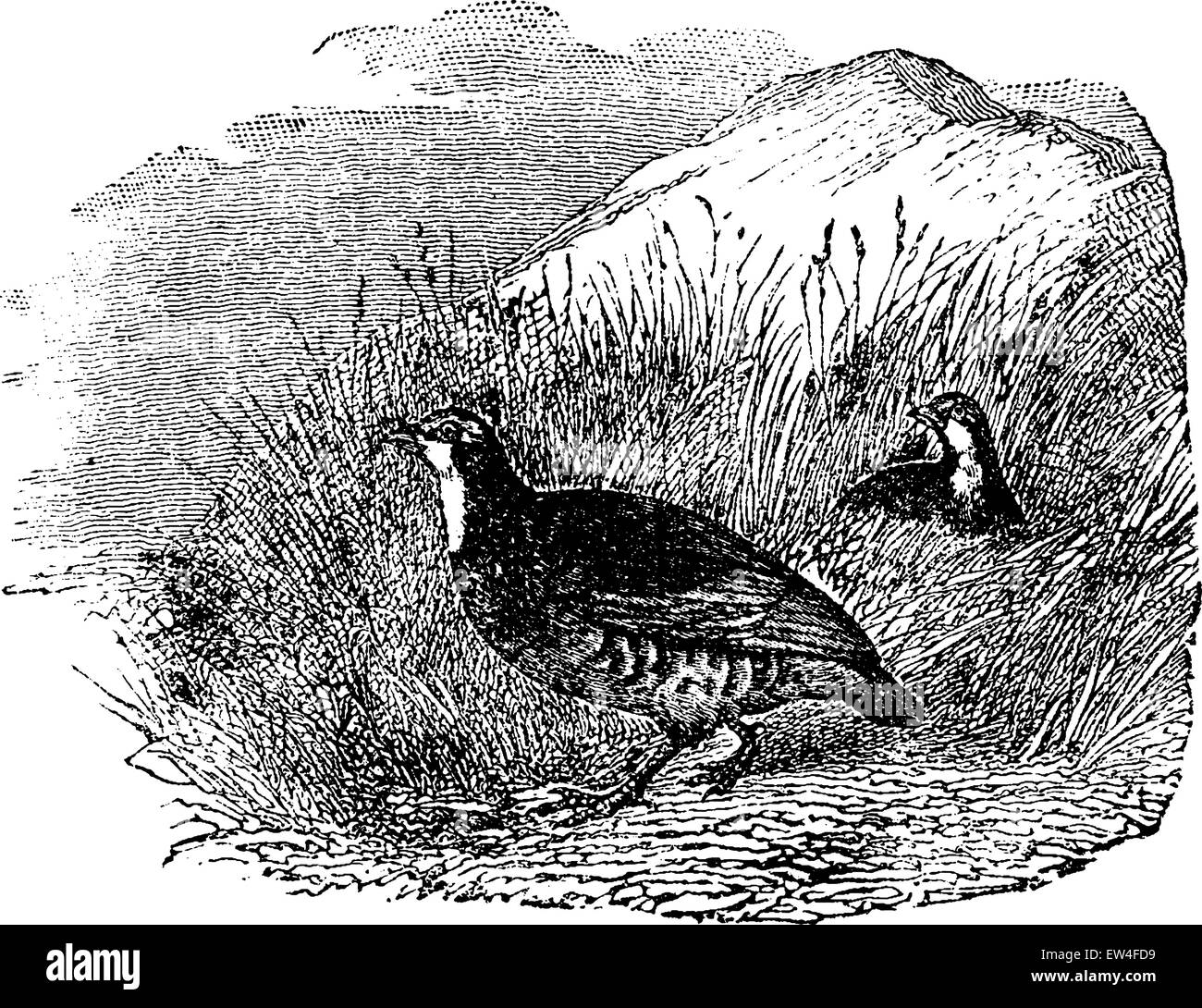 Partridges, vintage engraved illustration. Natural History of Animals, 1880. - Stock Vector