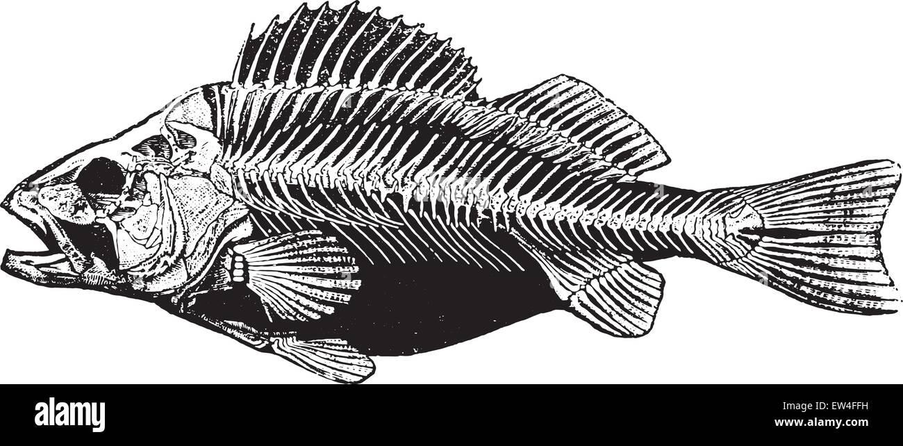 Fish skeleton, vintage engraved illustration. Natural History of ...