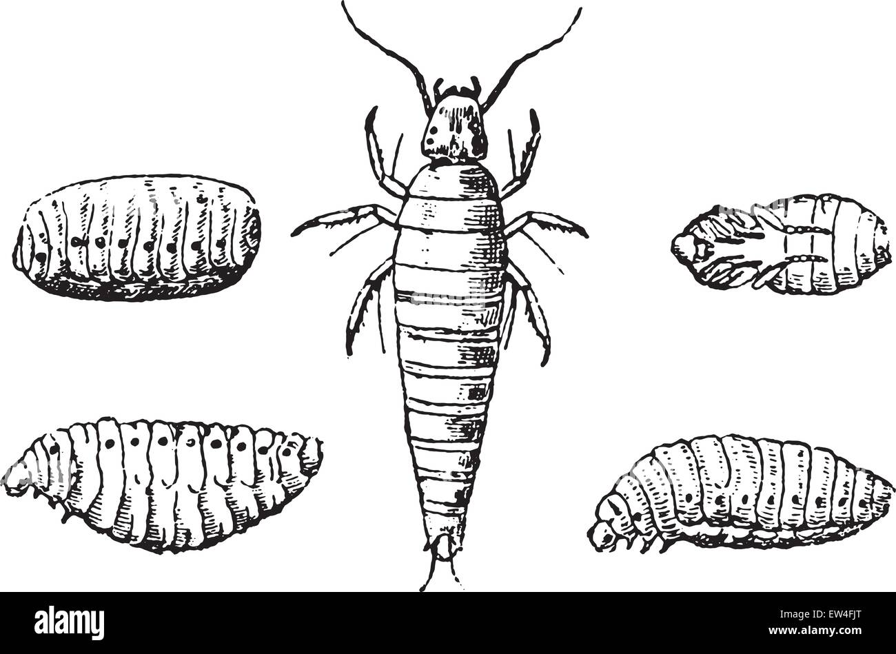 Insect larvae and nymphs vesicant, vintage engraved illustration. Natural History of Animals, 1880. - Stock Image