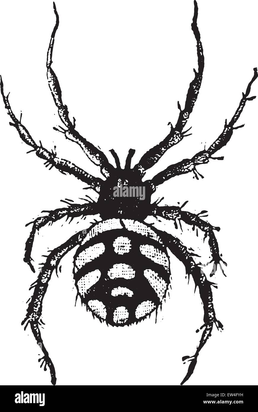 Theridion malmignatte, vintage engraved illustration. Natural History of Animals, 1880. - Stock Image
