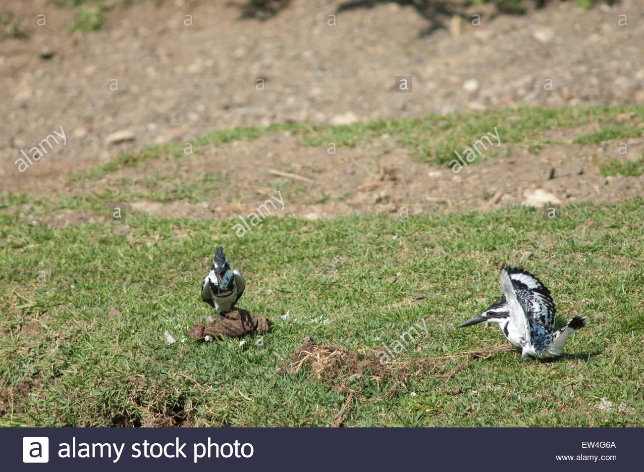 Pied kingfishers (Ceryle rudis). Hiran river. Gir Lion Sanctuary and National Park. Gujarat. India. - Stock Image