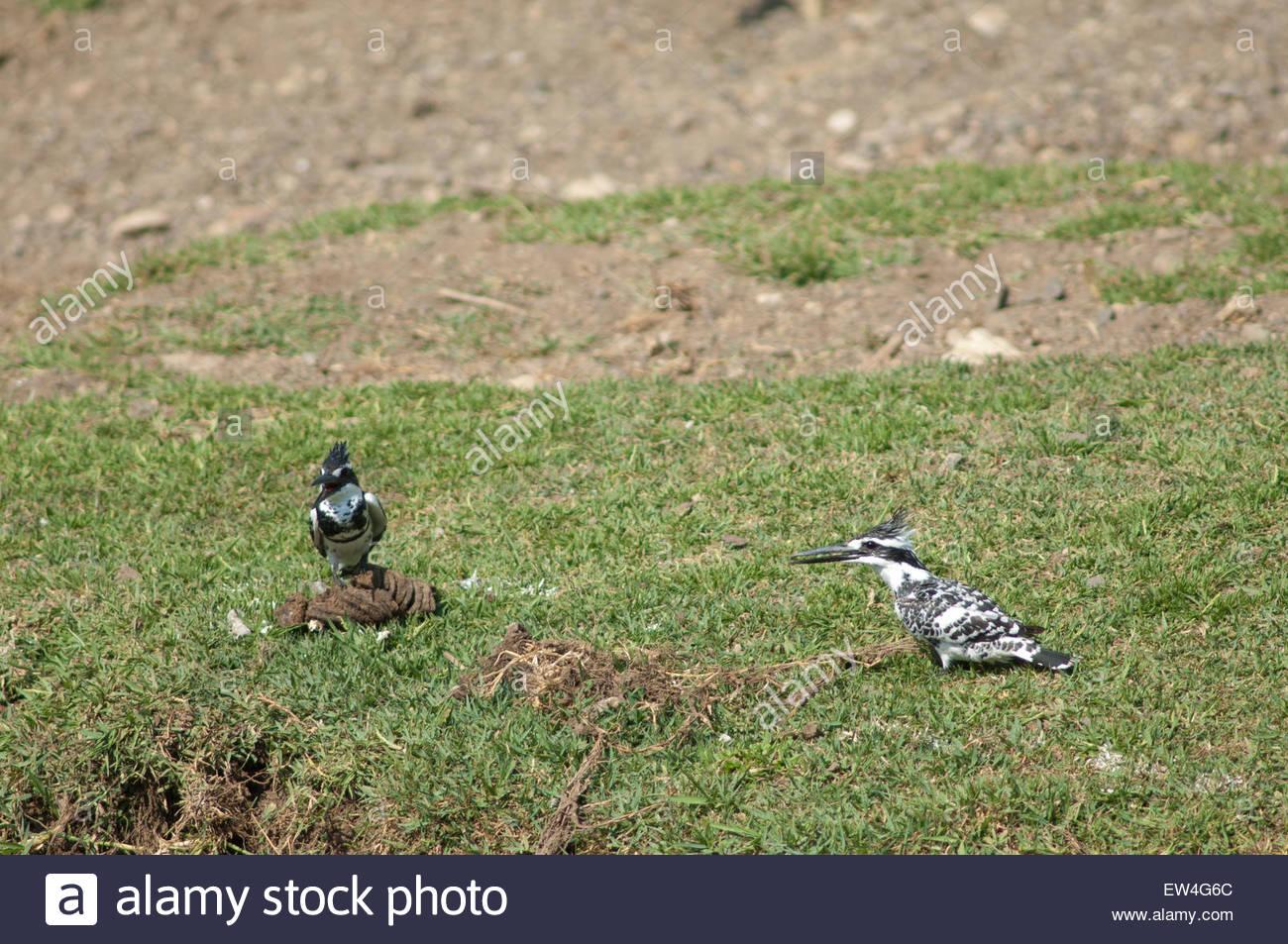Pied kingfishers (Ceryle rudis) calling. Hiran river. Gir Lion Sanctuary and National Park. Gujarat. India. - Stock Image