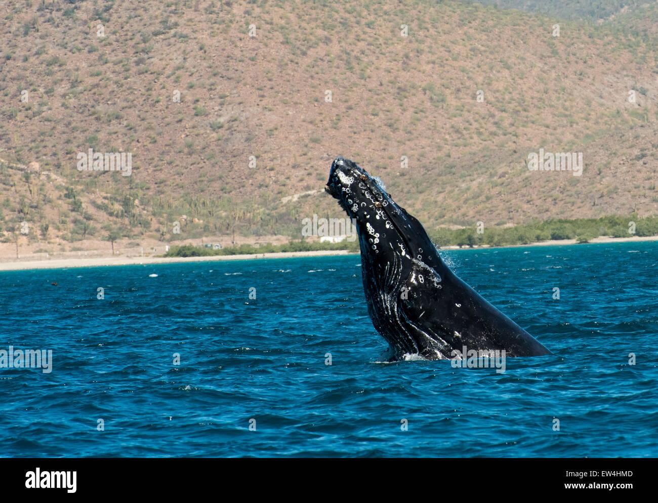 Mexico, Baja, Lapaz, Espiritu Santo. Whale spyhoping. - Stock Image