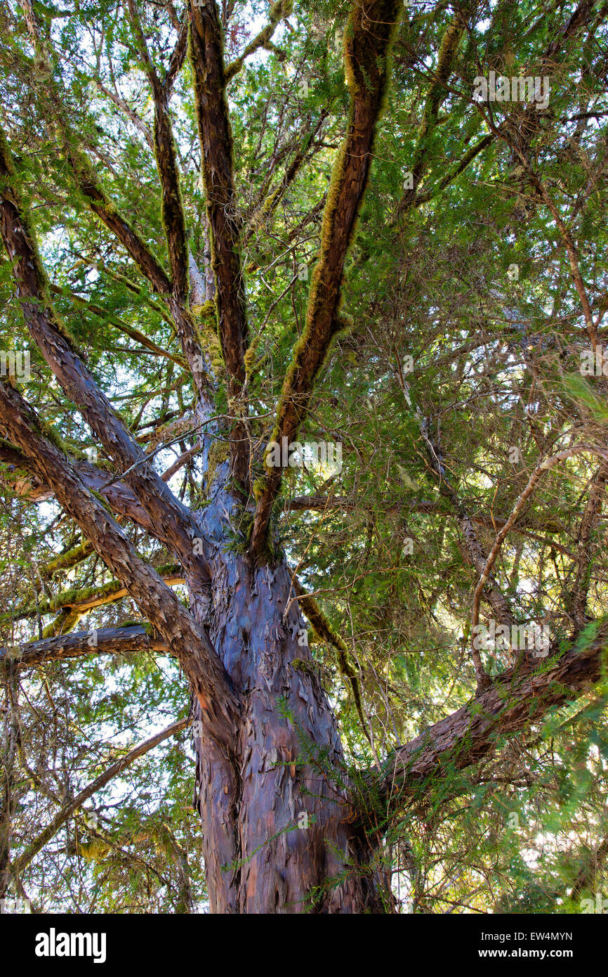 Pacific 'Western' Yew 'Taxus brevifolia'. Stock Photo