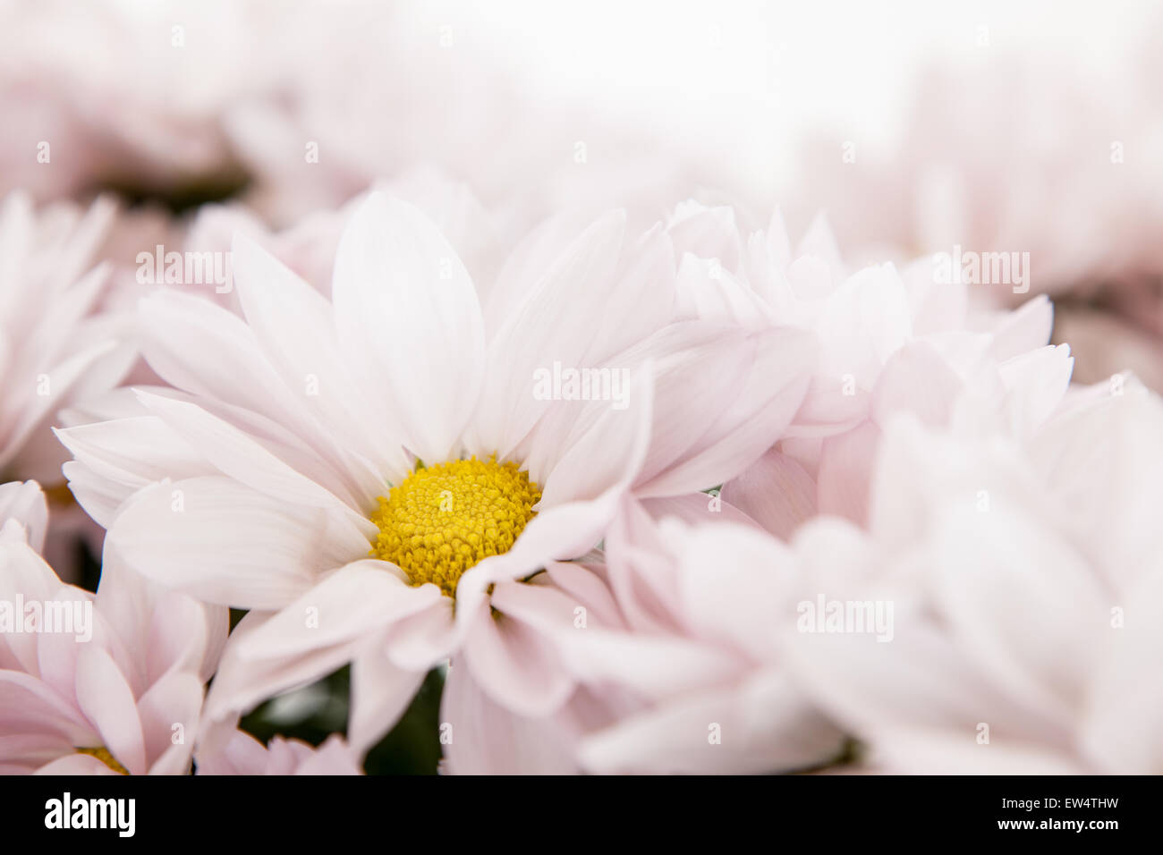 Pink Daisy Flowers White Yellow Daisies Floral Flower Stock Photo