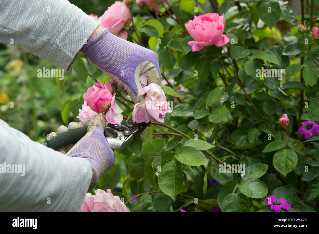 Gardener wearing gardening gloves deadheading Rosa Gertrude Jekyll rose with secateurs in a garden - Stock Image
