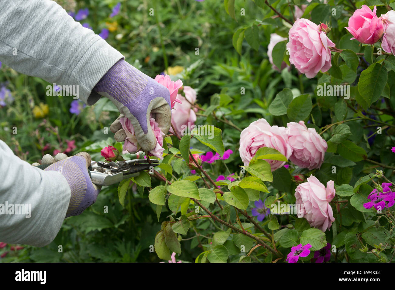 Gardener wearing gardening gloves deadheading Rosa Gertrude Jekyll rose with secateurs in a garden - Stock Image