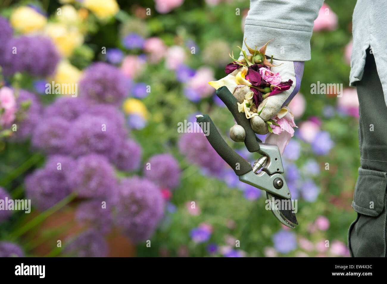 Gardener wearing gardening gloves carrying deadheaded roses and secateurs in a garden - Stock Image